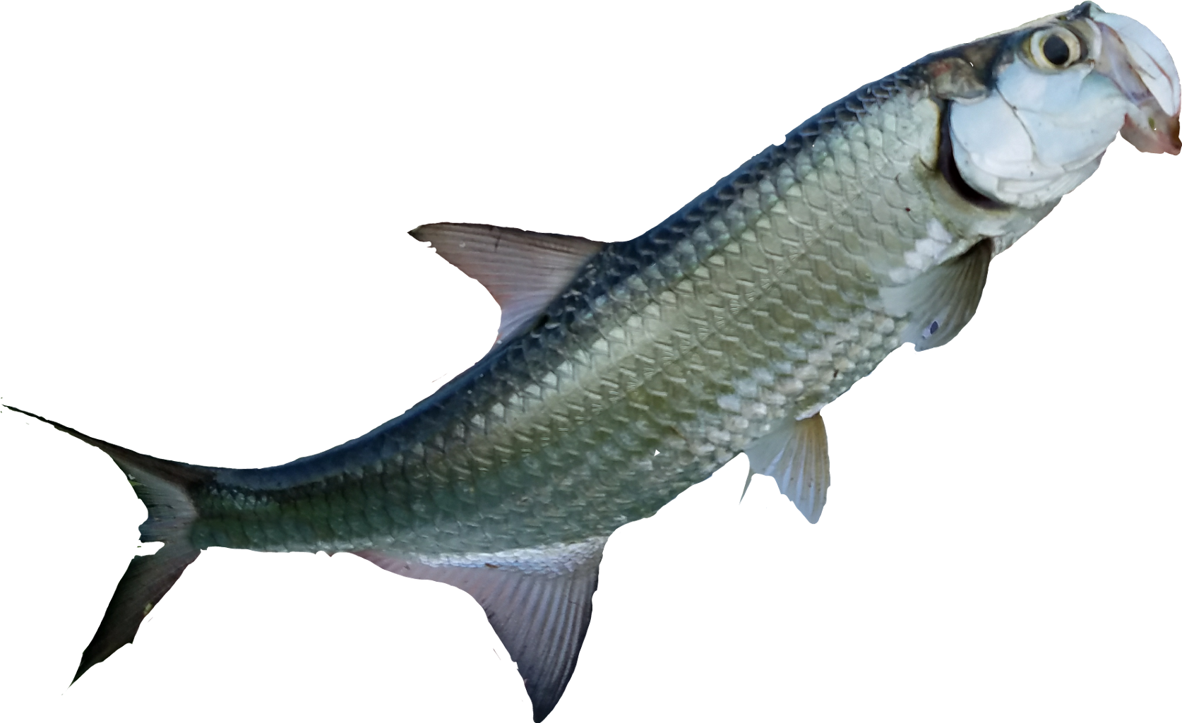 Tarpon fish clipart jpg free stock tarpon nass fish fishing soulmatesfunnys soulmates soul... jpg free stock