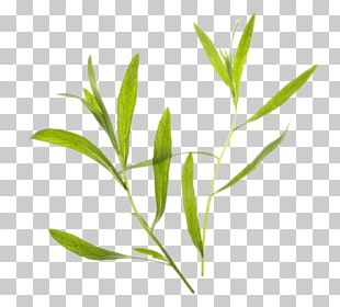 Tarragon clipart vector transparent Tarragon PNG Images, Tarragon Clipart Free Download vector transparent