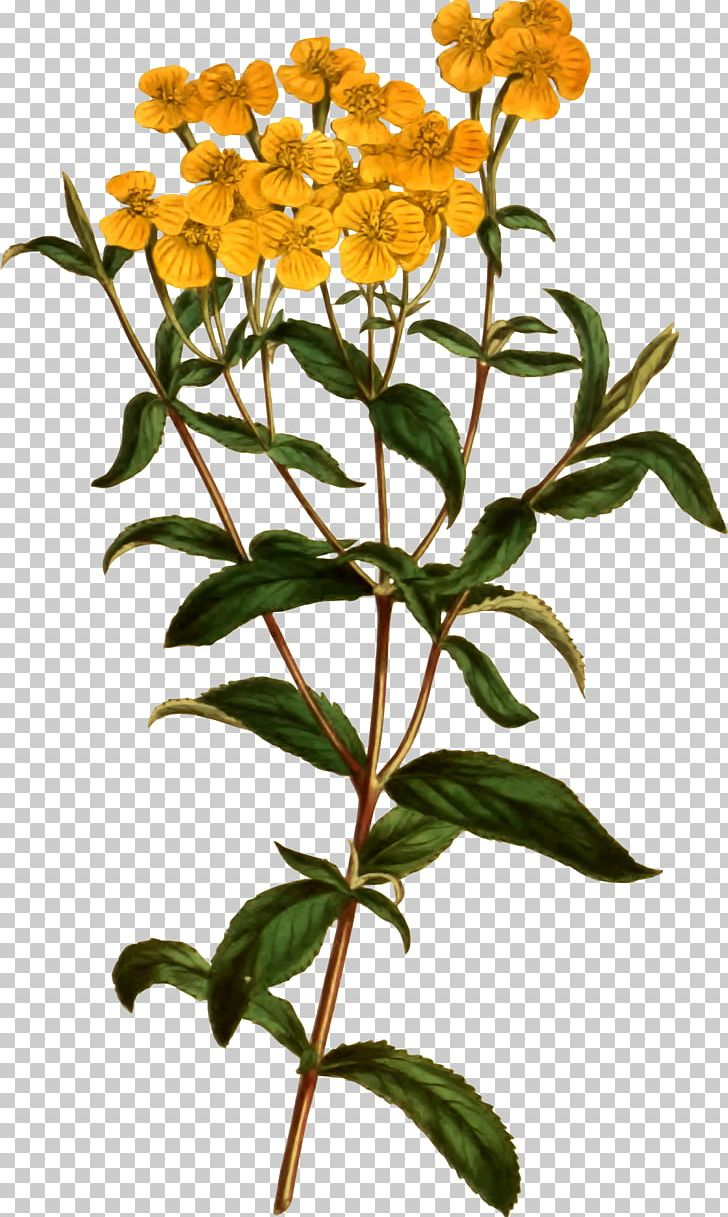Tarragon clipart graphic free download Tagetes Lucida Plant Flower Tarragon Herb PNG, Clipart ... graphic free download