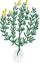 Tarragon clipart clipart freeuse stock Search Results for tarragon - Clip Art - Pictures - Graphics ... clipart freeuse stock