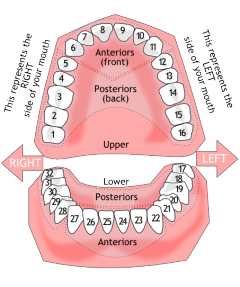 Library of teeth number chart png library library png ...