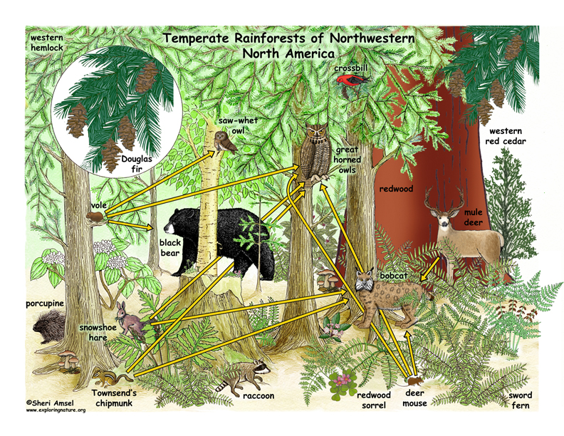 Temperate clipart vector download Download temperate rainforest ecosystem clipart Temperate ... vector download
