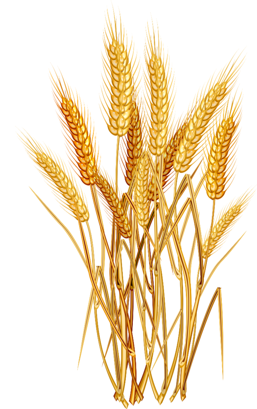 Thanksgiving wheat clipart black and white stock 9e0ad07f.png (503×800) | Scrap | Pinterest | Clip art and Scrap black and white stock