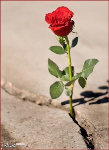 The rose that grew from concrete clipart