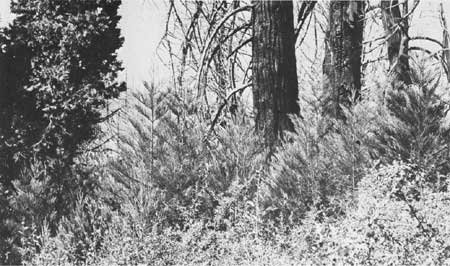 The wowona tree clipart free picture black and white library The Giant Sequoia of the Sierra Nevada (Chapter 5) picture black and white library
