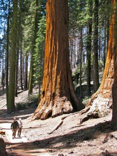 The wowona tree clipart free free 13 Best sequoia trees images in 2016 | Beautiful places ... free