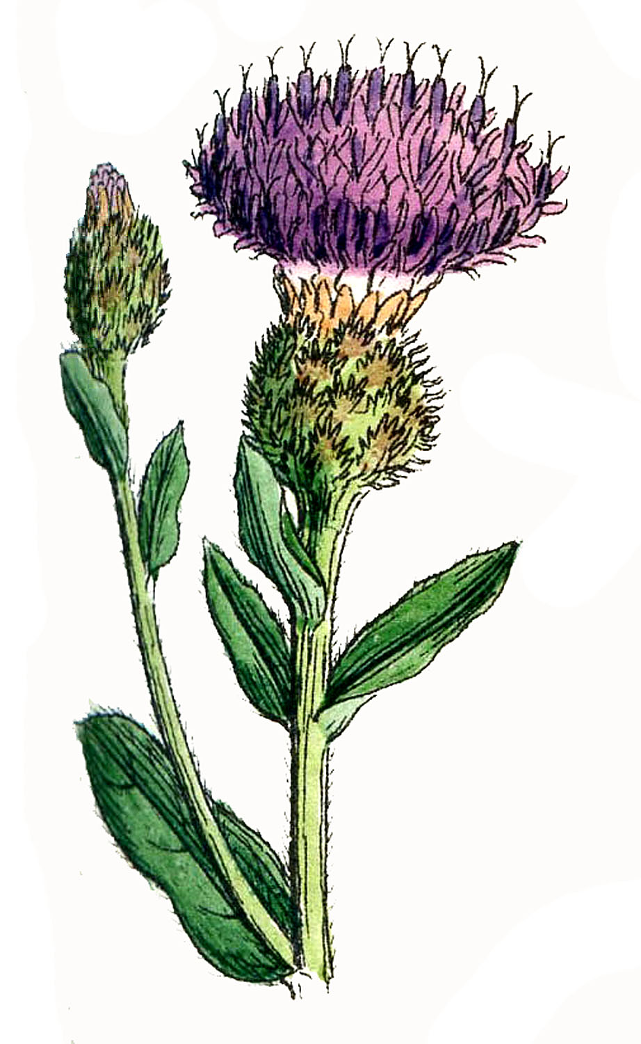 Thistle clipart images picture black and white download Free Thistle Cliparts, Download Free Clip Art, Free Clip Art ... picture black and white download