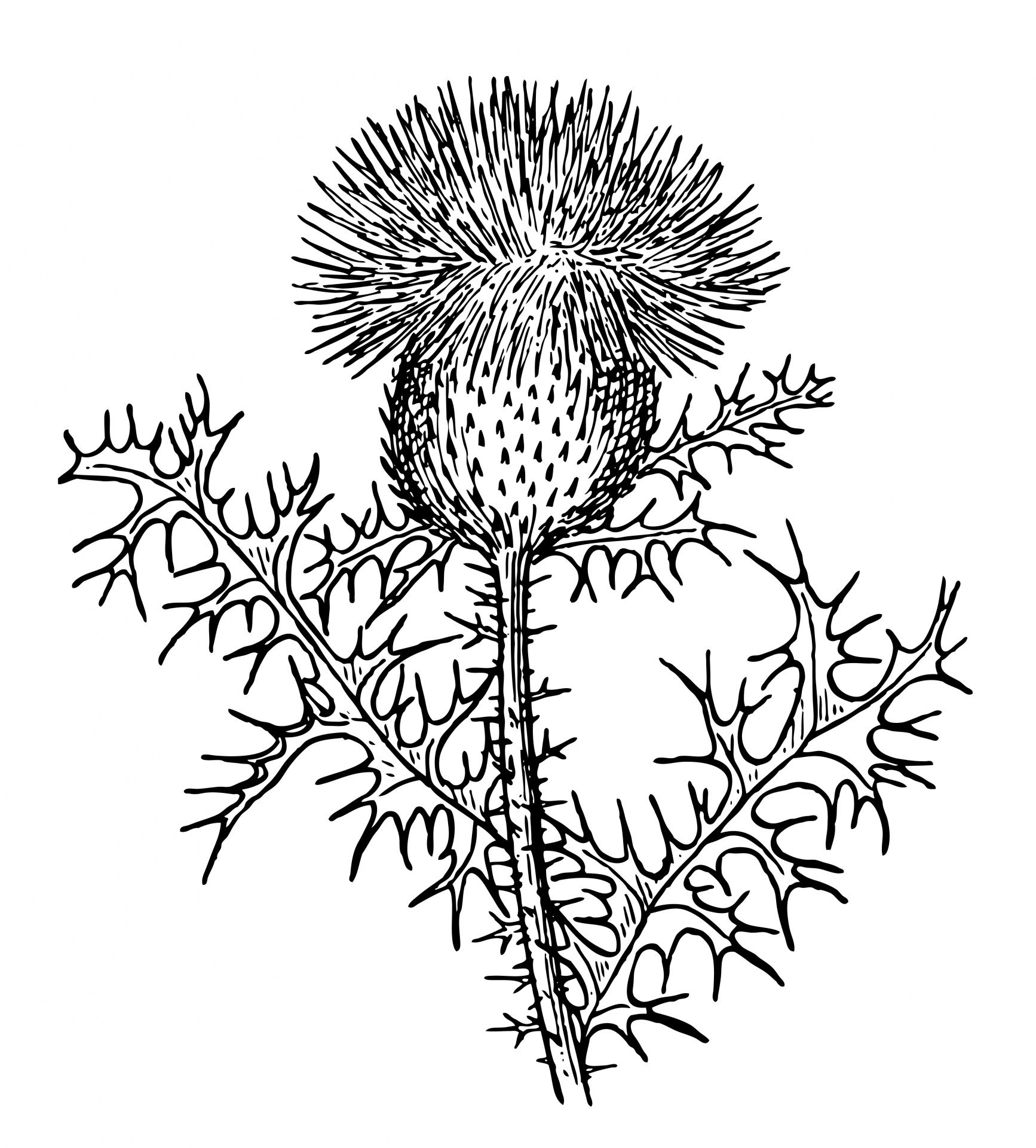 Thistle clipart images png black and white download Thistle Clipart Illustration | Gardening in 2019 | Thistle ... png black and white download