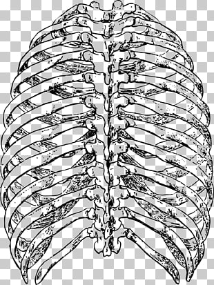 Thoracic clipart image free stock 476 thoracic PNG cliparts for free download | UIHere image free stock