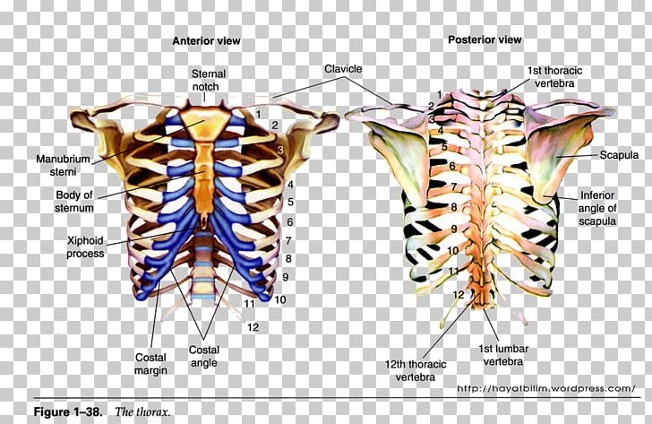 Thoracic clipart vector royalty free download Bone Thorax Anatomy Thoracic Cavity Skeleton PNG, Clipart ... vector royalty free download