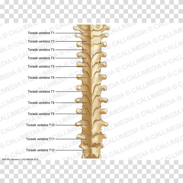 Thoracic clipart banner royalty free download Thoracic vertebrae Vertebral column Bone Rachis Anatomy ... banner royalty free download