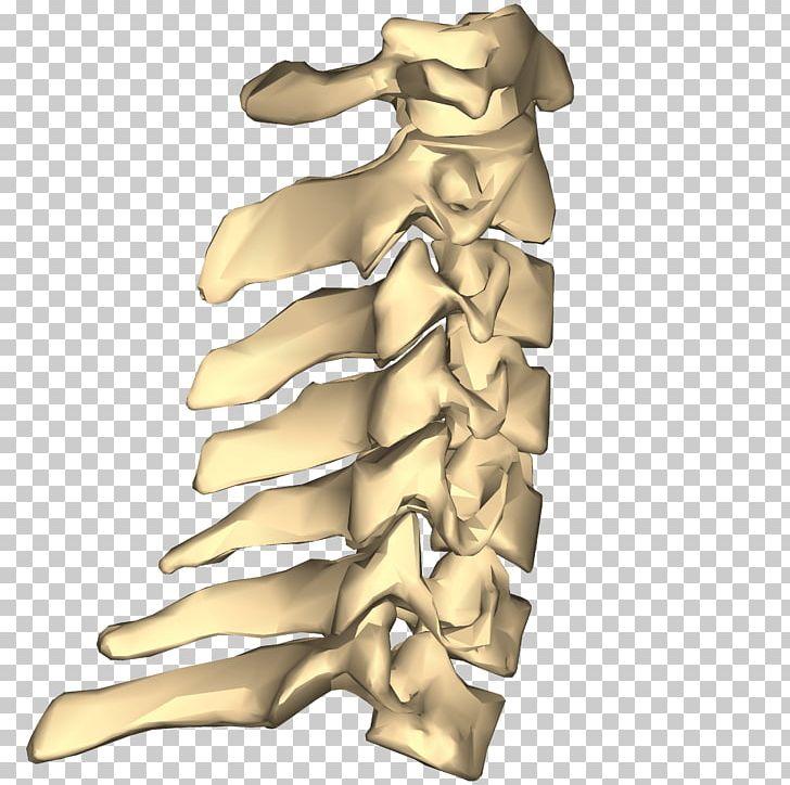 Thoracic clipart banner Cervical Vertebrae Spinal Nerve Vertebral Column Thoracic ... banner