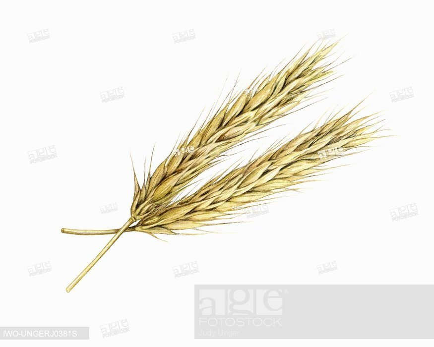 Three sprigs of whaeta clipart clip royalty free Two Sprigs of Wheat, Stock Photo, Picture And Rights Managed ... clip royalty free