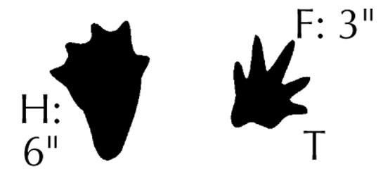 Three toe tracks clipart png freeuse library How to Identify Tracks of 10 Common North American Species ... png freeuse library