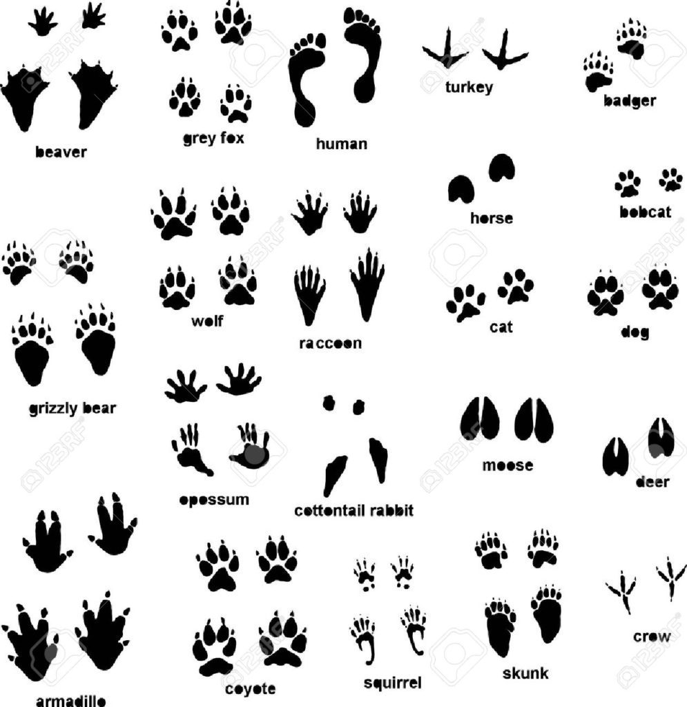 Three toe tracks clipart picture royalty free Animal Tracking: The Ultimate Guide and 20+ Photos » GearHunts picture royalty free