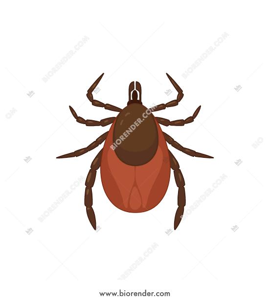 Tick paracite clipart clip download BioRender   Tick (deer tick, female) clip download