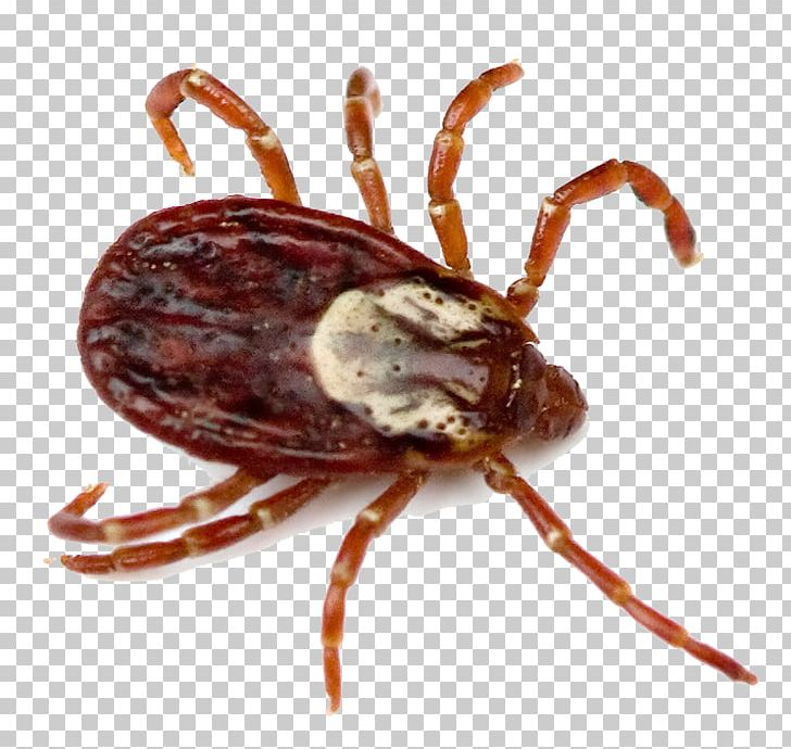 Tick paracite clipart jpg American Dog Tick Deer Tick Tick-borne Disease Lone Star ... jpg