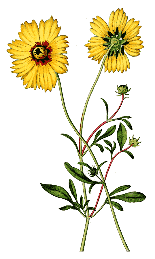 Tickseed clipart clip freeuse stock goldmane tickseed Coreopsis basalis - /plants/flowers/_T ... clip freeuse stock
