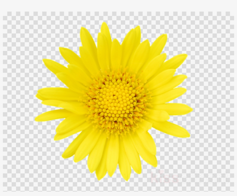 Tickseed clipart jpg freeuse download Tickseed Clipart Stock Photography Getty Images Flower ... jpg freeuse download