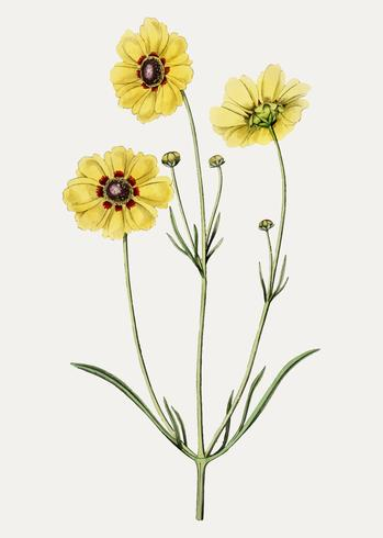 Tickseed clipart jpg royalty free Tickseed flower - Download Free Vectors, Clipart Graphics ... jpg royalty free
