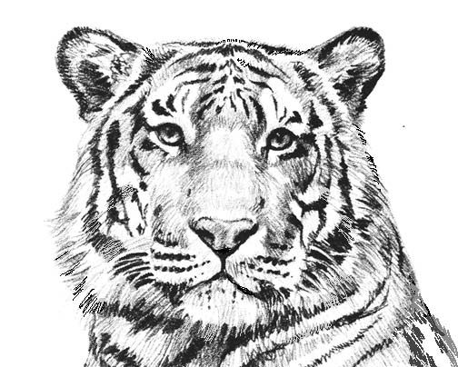 Tiger 1 color clipart freeuse download Tiger Coloring Pages Printable - coloring | ADULT Coloring Pages ... freeuse download