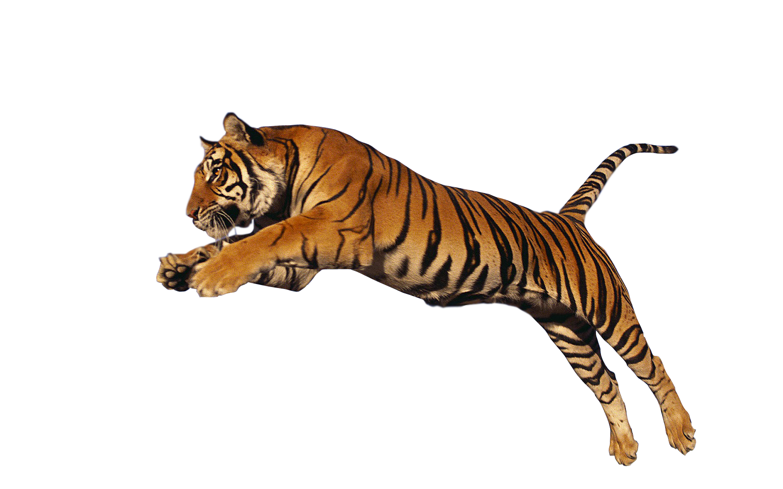 Tiger clipart leaping black and white library Pin by Craig Stewart on Photo Inspiration | Tiger images ... black and white library