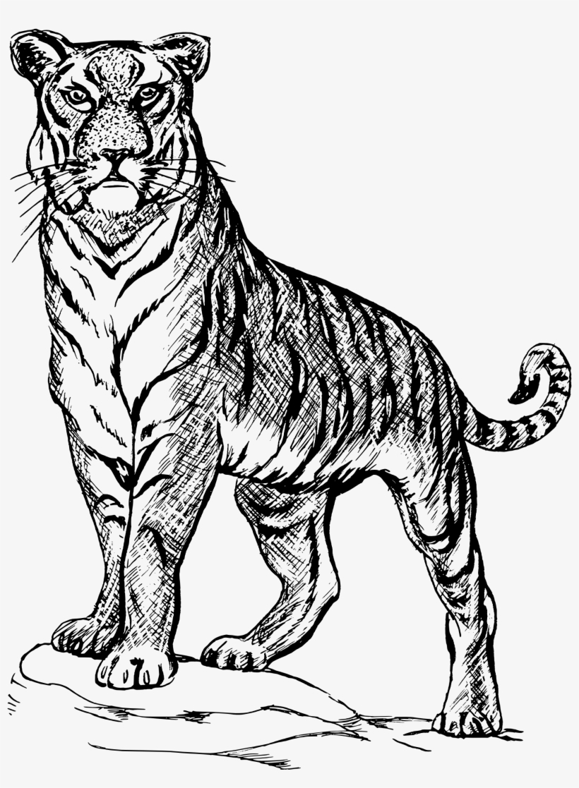 Tiger clipart line drawing clip transparent library Tiger Png Clipart - Line Drawing Of A Tiger Transparent PNG ... clip transparent library