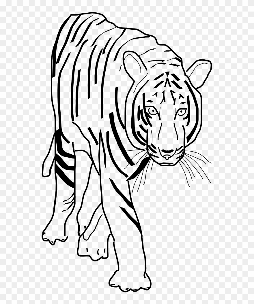 Tiger clipart line drawing graphic library Vector Clip Art - Transparent Png Tiger Clipart Black And ... graphic library