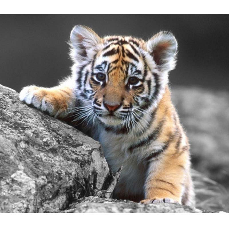 Tiger cub reahing up clipart clip freeuse download US $5.93 7% OFF|5d diy diamond painting tiger cub,cross stitch full square  diamond embroidery kits picture diamond mosaic tiger clip art Decor-in ... clip freeuse download