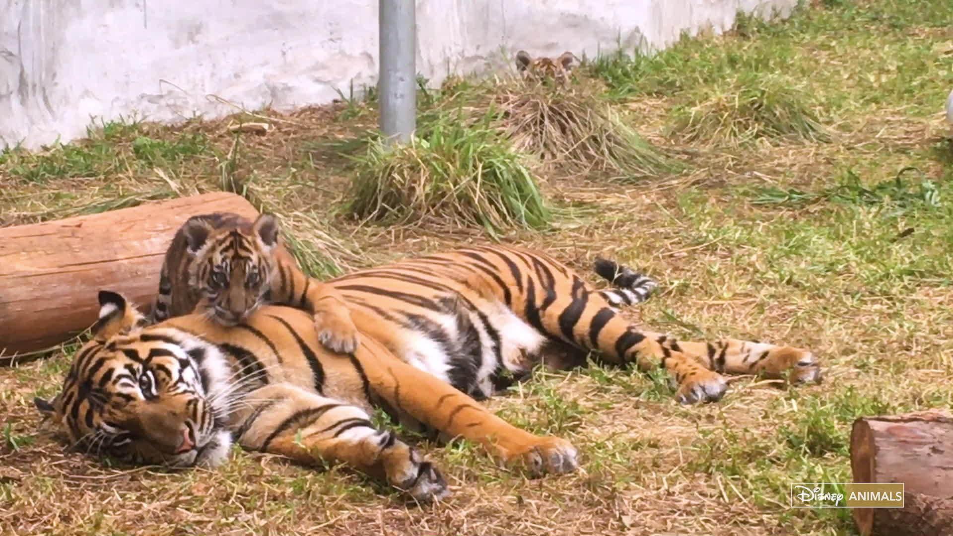 Tiger cub reahing up clipart clip art library stock Tiger Cubs clip art library stock