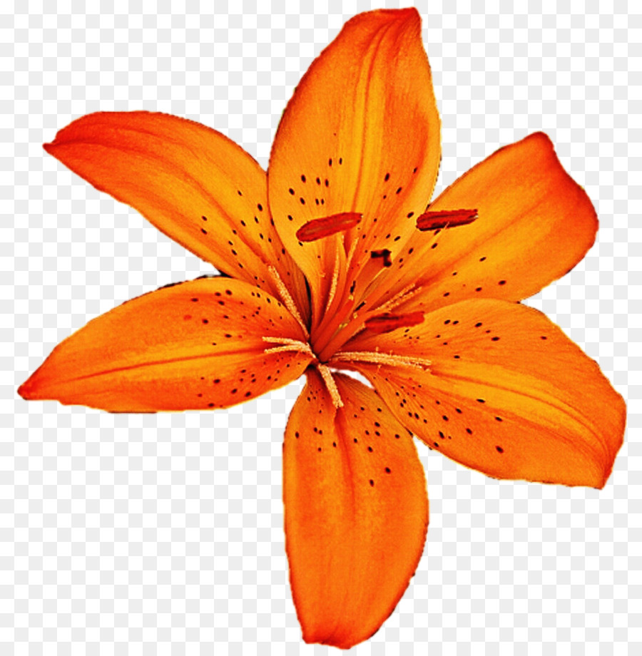 Tiger lily flower clipart jpg freeuse stock Easter Lily Background png download - 873*916 - Free ... jpg freeuse stock