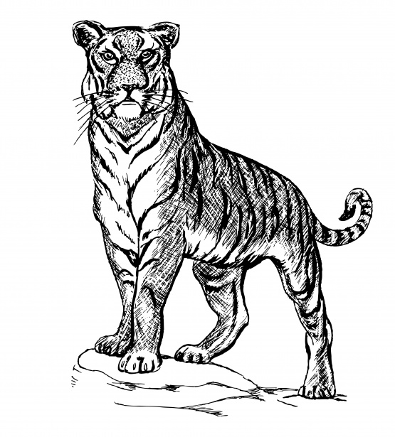 Tiger line clipart clip art transparent library Tiger Illustration Clipart Free Stock Photo - Public Domain ... clip art transparent library