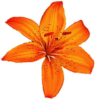 Tigerlily clipart banner free download Free Tiger Lily Cliparts, Download Free Clip Art, Free Clip ... banner free download