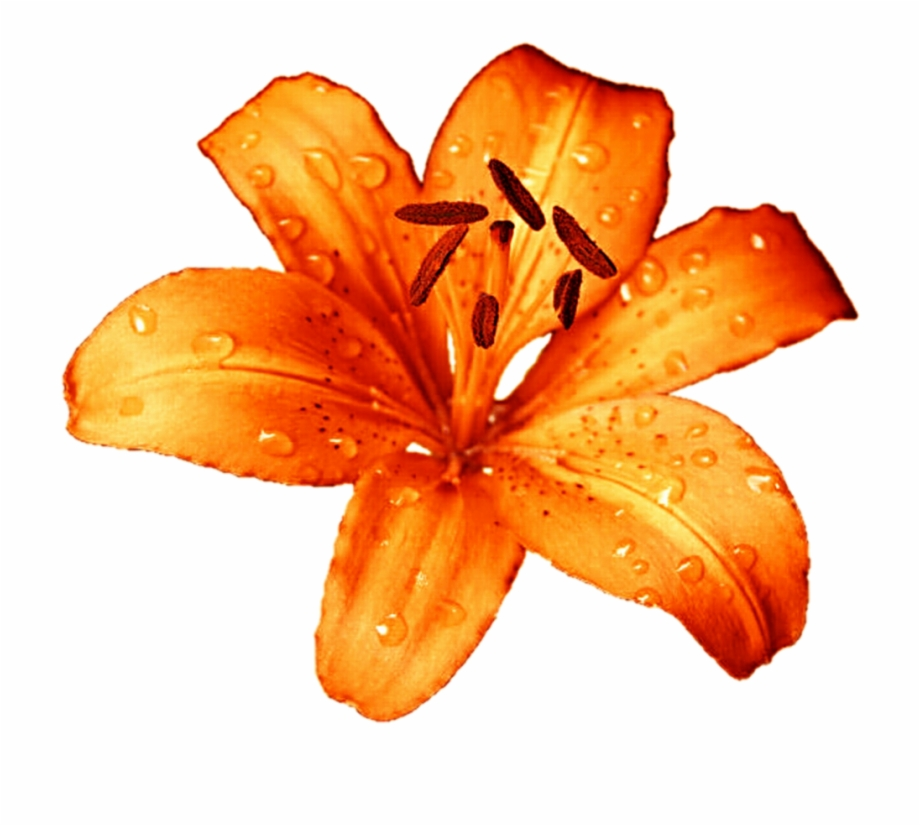 Tigerlily clipart clip library download Tiger Lily Flower Png Free PNG Images & Clipart Download ... clip library download