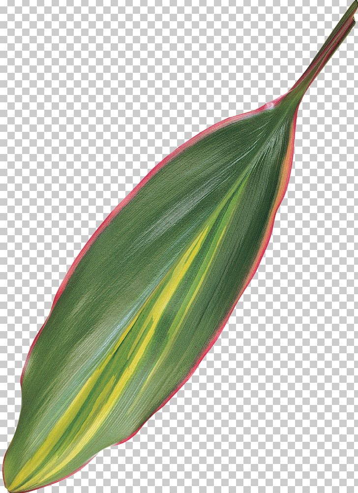 Ti-leaf clipart png free library Leaf Plant Stem PNG, Clipart, Bay Leaves, Leaf, Plant, Plant ... png free library