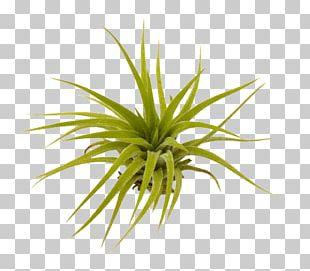 Tillandsia clipart svg black and white Sky Plant Bromeliads Equisetum Tillandsia Funckiana PNG ... svg black and white
