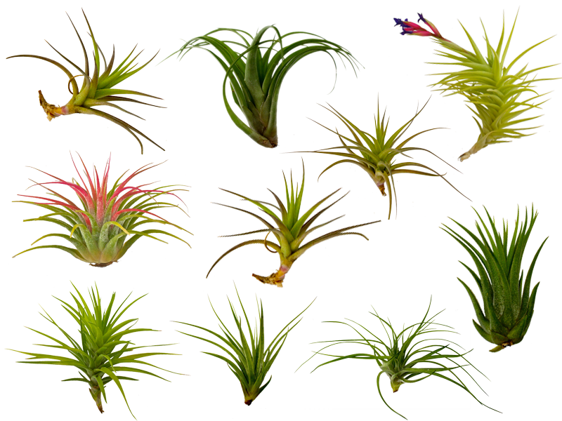 Tillandsia clipart clip art library library The Fern and Mossery: Buy Air Plants (tillandsia) Online clip art library library