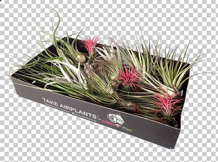 Tillandsia clipart royalty free library Tillandsia Grasses Flowerpot Plant Glass PNG, Clipart ... royalty free library