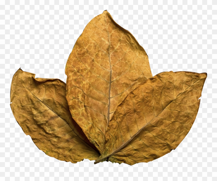 Tobacco leaf clipart png freeuse library Tobacco Leaf Clipart (#3036260) - PinClipart png freeuse library