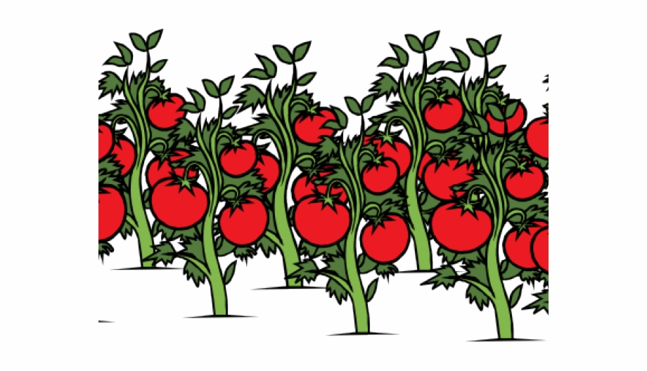 Tomatoes on the vine clipart clipart royalty free Tomato Free On Dumielauxepices Net Vine - Tomato Plant Clip ... clipart royalty free