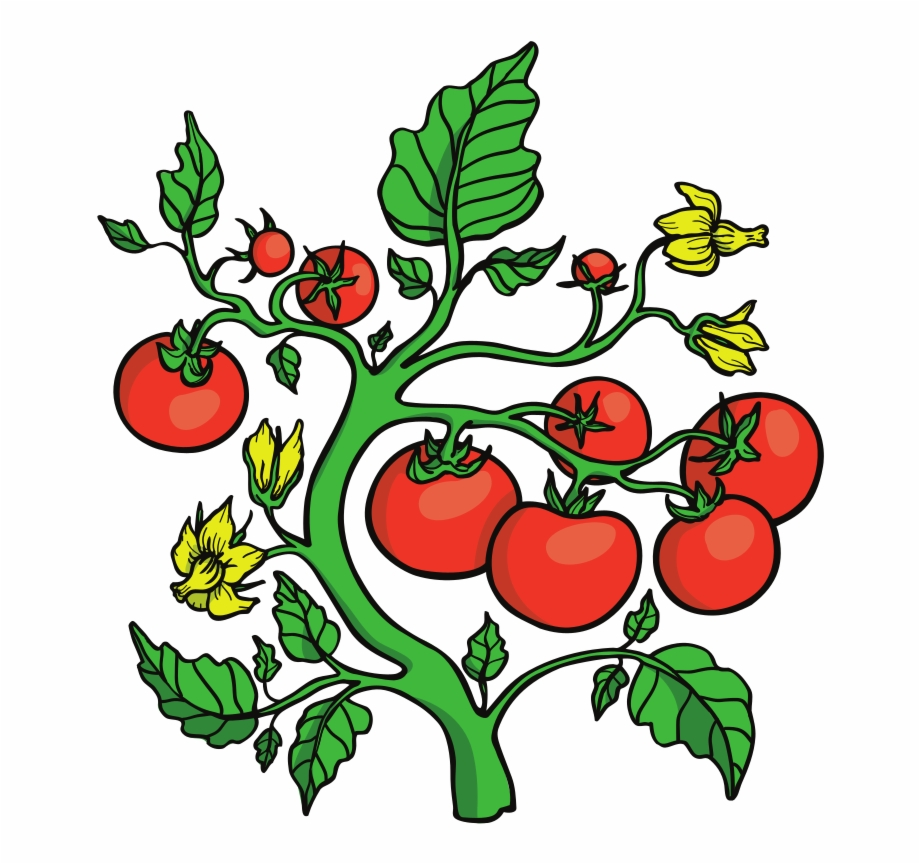 Tomatoes on the vine clipart graphic free library Tomato Clipart - Clip Art Tomato Vines, Transparent Png ... graphic free library