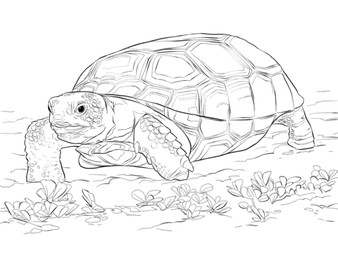 Tortoise gopher clipart svg freeuse download Realistic Gopher Tortoise coloring page | Free Printable ... svg freeuse download