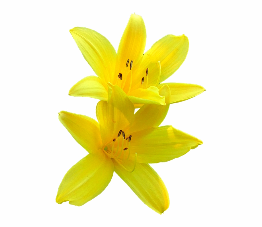 Transparent background yellw lily clipart image stock Bunga Lily Png - Yellow Lily Transparent Background Free PNG ... image stock