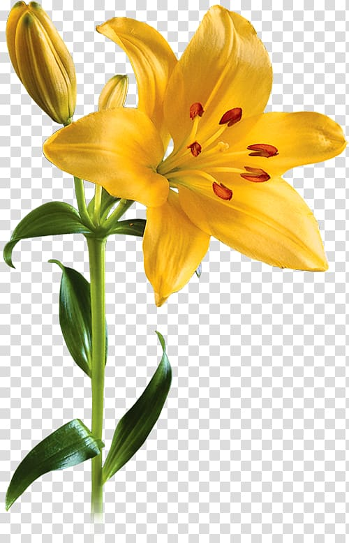 Transparent background yellw lily clipart clip transparent library Lilium Flower , Lily transparent background PNG clipart ... clip transparent library