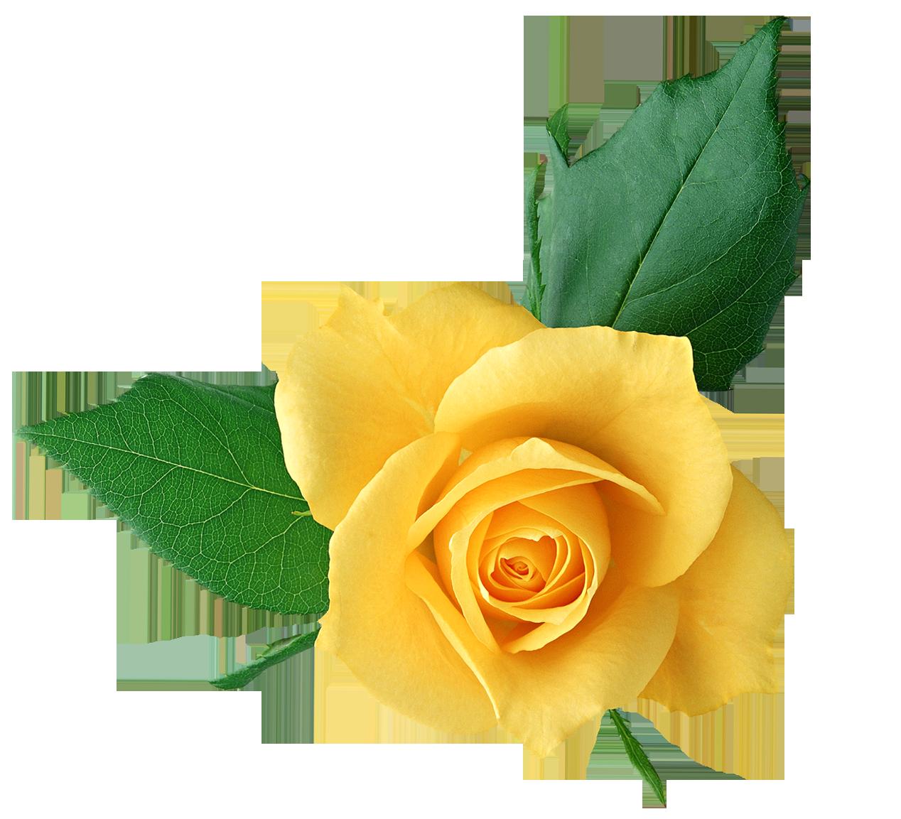 Transparent flower rose yellow clipart jpg library download Rose Yellow Flower Clip art - yellow rose png download ... jpg library download