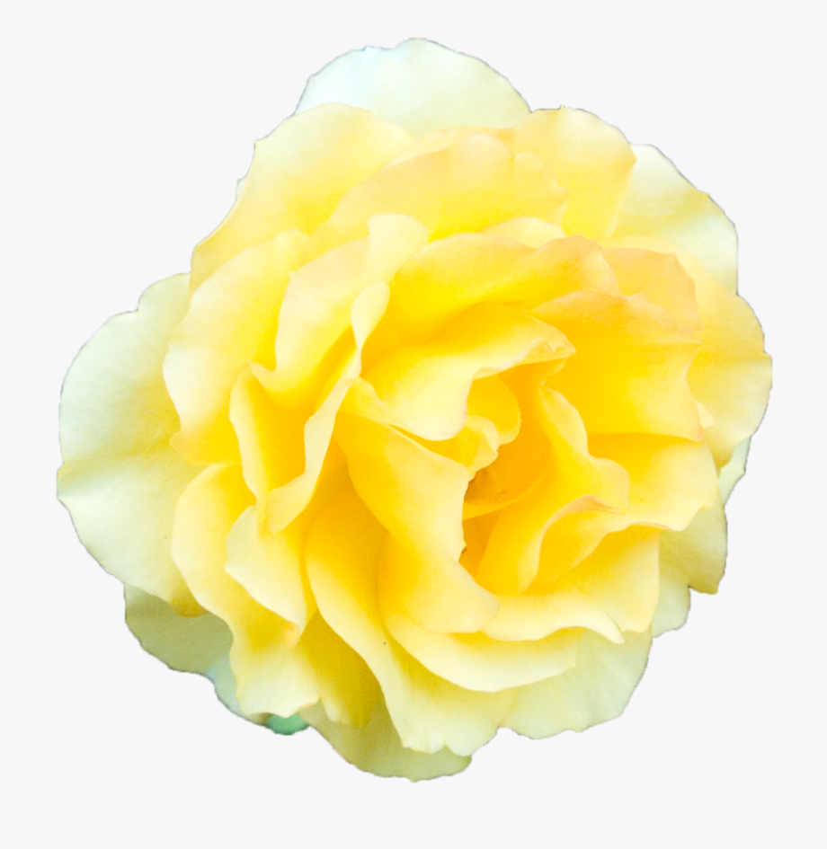Yellow Rose Flower Free Png Transparent Images Free - Yellow ... clipart freeuse download