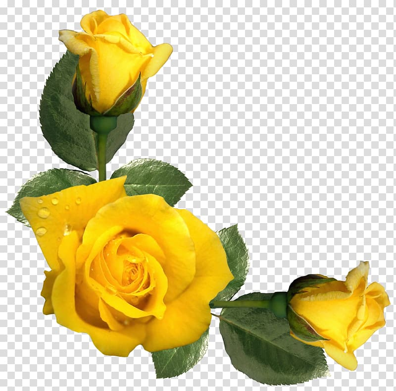 Yellow roses, Rose Yellow Flower , Beautiful Yellow Roses ... svg transparent download