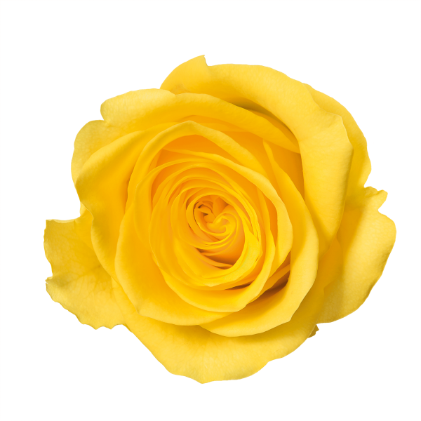 Transparent flower rose yellow clipart vector transparent stock yellow-rose-flower-free-PNG-transparent-images-free-download ... vector transparent stock