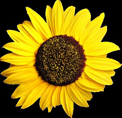 Transparent sunflower clipart png transparent library Download SUNFLOWERS Free PNG transparent image and clipart png transparent library