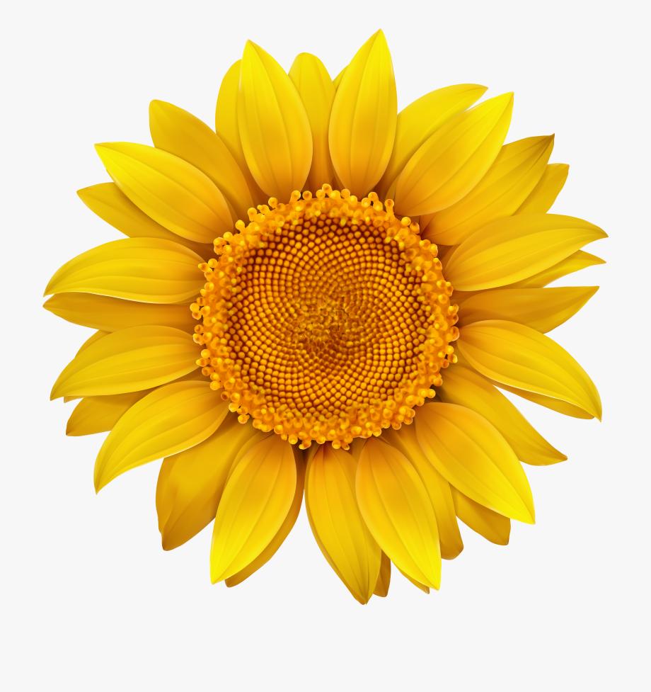 Transparent sunflower clipart jpg library stock Sunflower Transparent Hi Res - Transparent Background ... jpg library stock